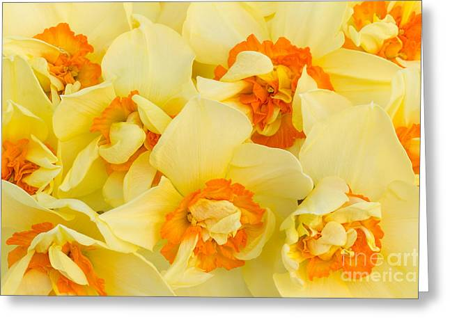 Spring Bulbs Greeting Cards - A Host of Golden Daffodils Greeting Card by Ann Garrett