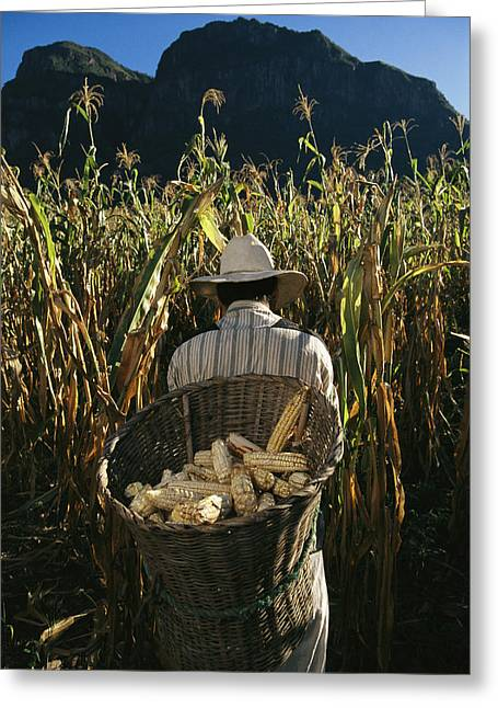 Corn Seeds Greeting Cards - A Huichol Farmer Harvests Ears Of Corn Greeting Card by Maria Stenzel