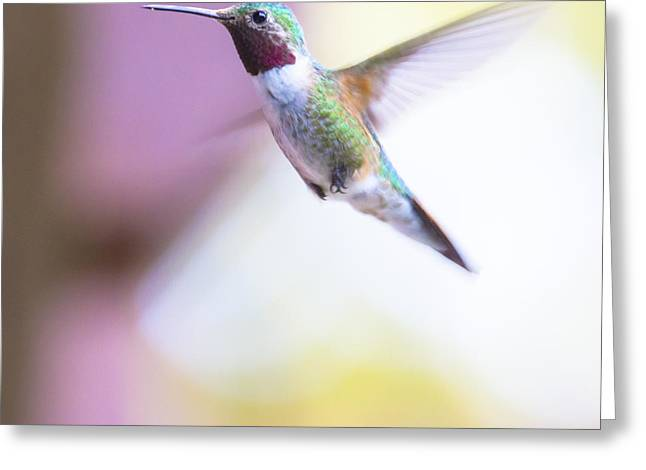 Wild Bird Greeting Cards - A humming bird in the Rocky Mountains Greeting Card by Ellie Teramoto