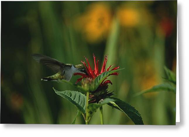 Summer Garden Scene Greeting Cards - A hummingbird at a Greeting Card by Taylor S. Kennedy