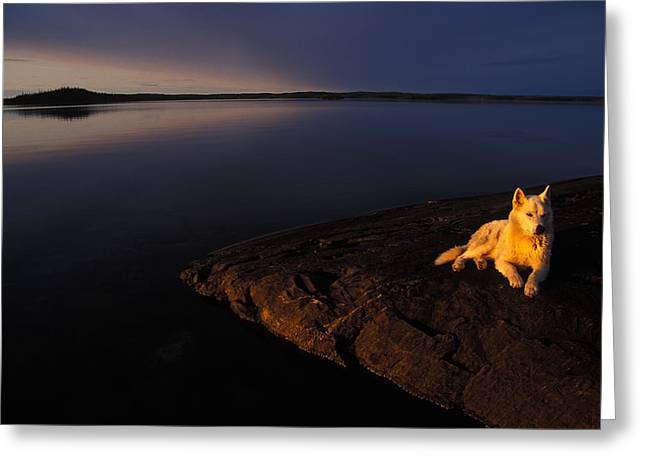 Husky Greeting Cards - A Husky Reclines On The Shore Greeting Card by Nick Norman