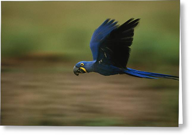 Flying Animal Greeting Cards - A Hyacinth Macaw In Flight Greeting Card by Joel Sartore