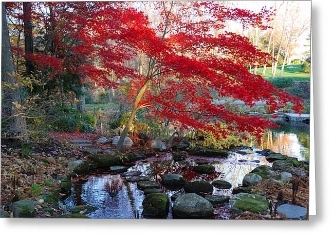 Plant Color Changes Greeting Cards - A Japanese Maple With Colorful, Red Greeting Card by Darlyne A. Murawski