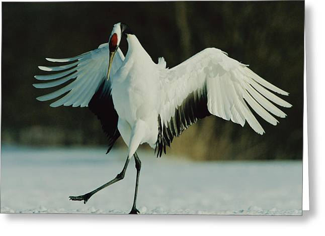 Animals In Action Greeting Cards - A Japanese Or Red-crowned Crane Grus Greeting Card by Tim Laman
