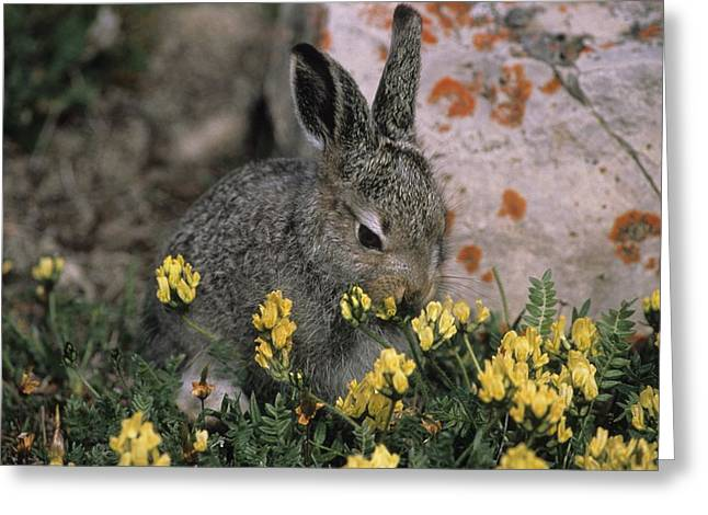 Ways Of Life Greeting Cards - A Juvenile Arctic Hare Feeds On Spring Greeting Card by Paul Nicklen