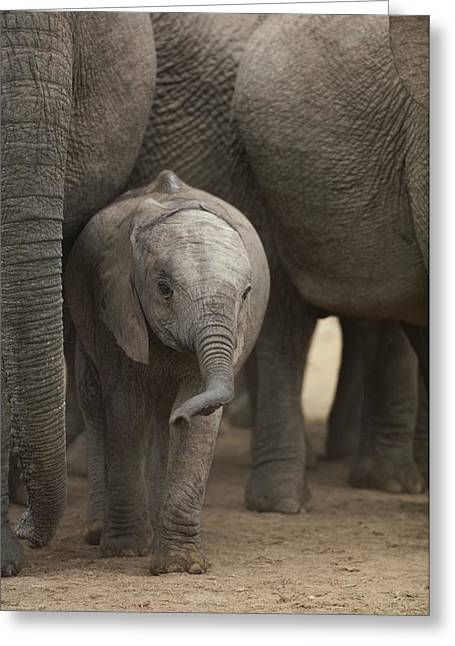 Addo Greeting Cards - A Juvenile Elephant Standing Amongst Greeting Card by Kenneth Garrett