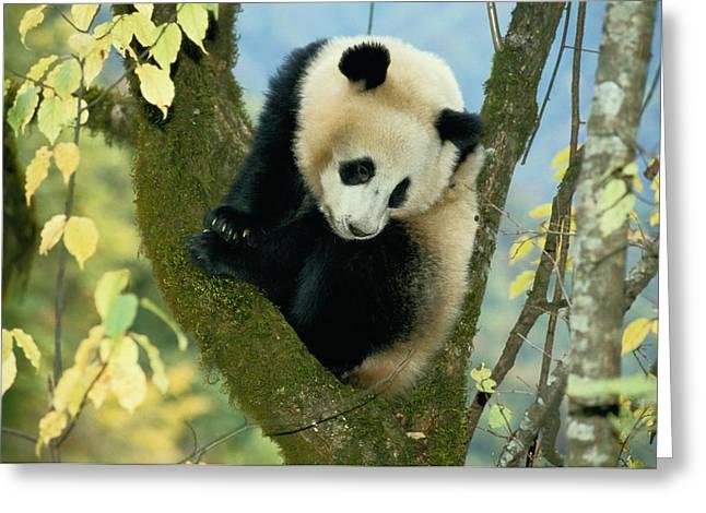 Shaanxi Province Greeting Cards - A Juvenile Giant Panda Greeting Card by Lu Zhi
