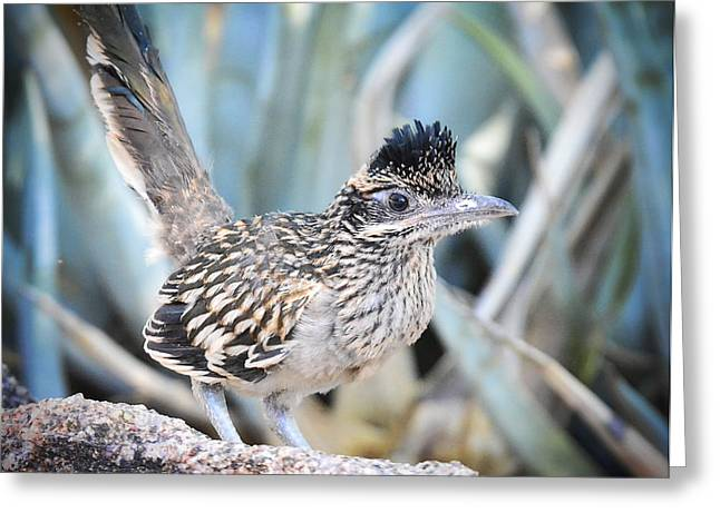Roadrunner Greeting Cards - A Juvenile Greater Roadrunner  Greeting Card by Saija  Lehtonen