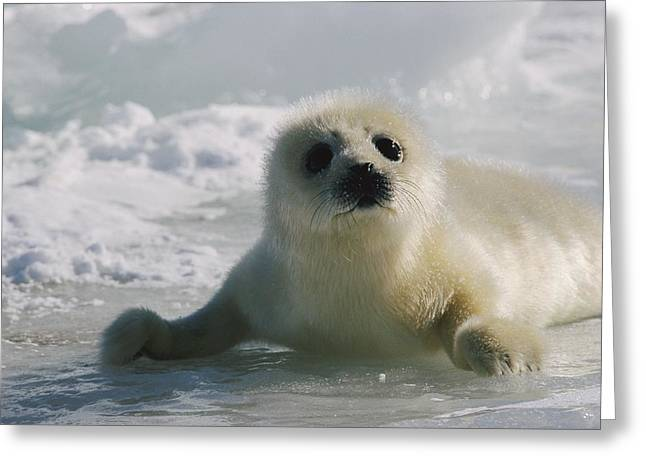 A Juvenile Harp Seal Pagophilus Greeting Card by Tom Murphy