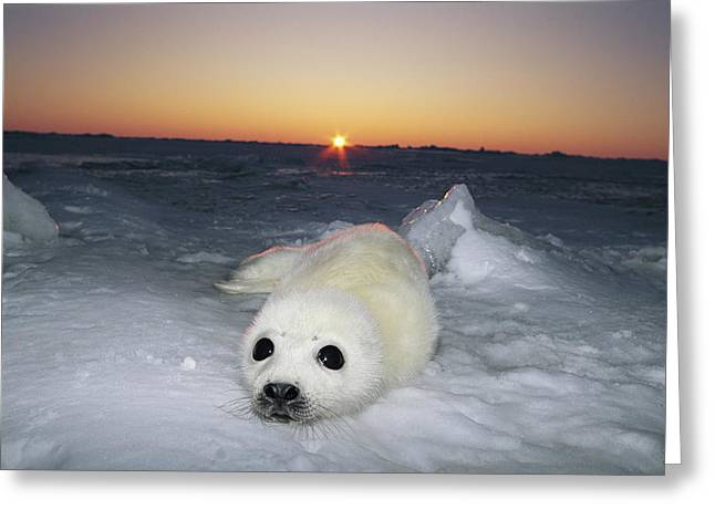 Roost Photographs Greeting Cards - A Juvenile Harp Seal Pup Rests Greeting Card by Norbert Rosing
