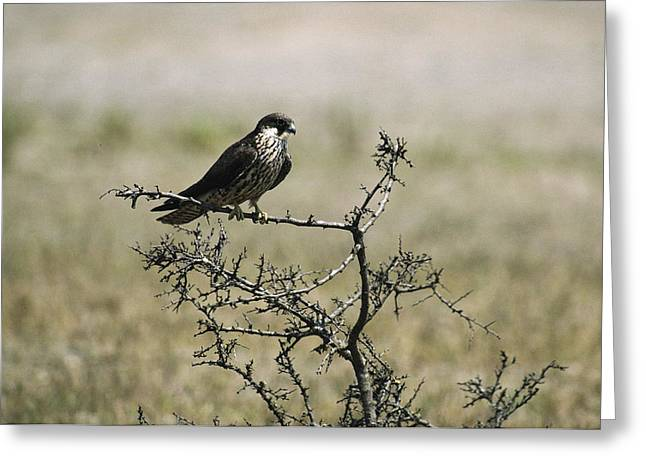Juvenile Turkey Greeting Cards - A Juvenile Hobby Perches On A Branch Greeting Card by Klaus Nigge