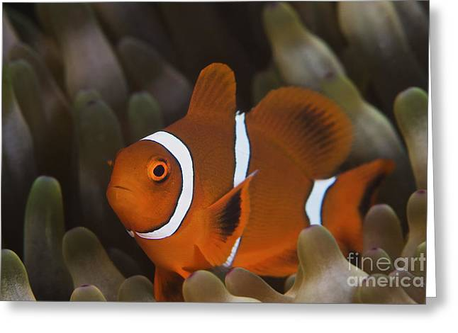 Pomacentridae Greeting Cards - A Juvenile Spine Cheek Clownfish Greeting Card by Terry Moore
