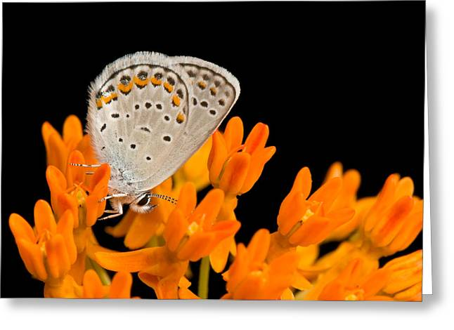 Animals And Insects Greeting Cards - A Karner Blue Butterfly, Lycaeides Greeting Card by Joel Sartore
