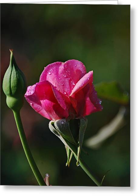 Photographs With Red. Greeting Cards - A Knockout Rose Greeting Card by Skip Willits