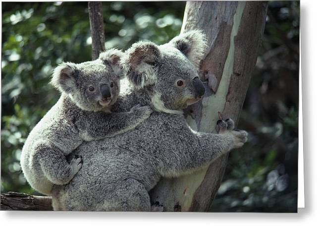 Lone Pine Greeting Cards - A koala bear hugs a tree Greeting Card by National Geographic