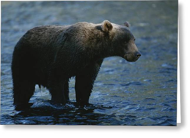 A Kodiak Brown Bear Hunts For Fish Greeting Card by George F. Mobley