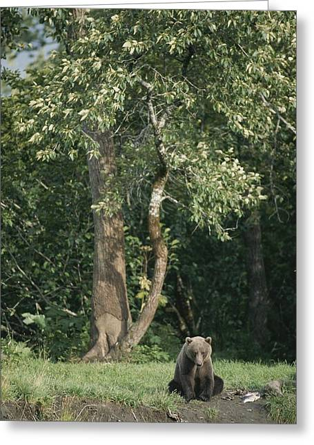 Ursus Middendorfii Greeting Cards - A Kodiak Brown Bear On The Bank Greeting Card by George F. Mobley