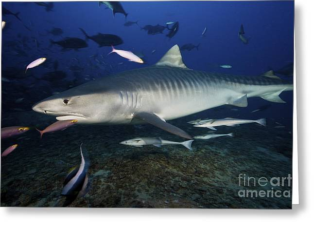 Undersea Photography Greeting Cards - A Large 10 Foot Tiger Shark Swims Greeting Card by Terry Moore