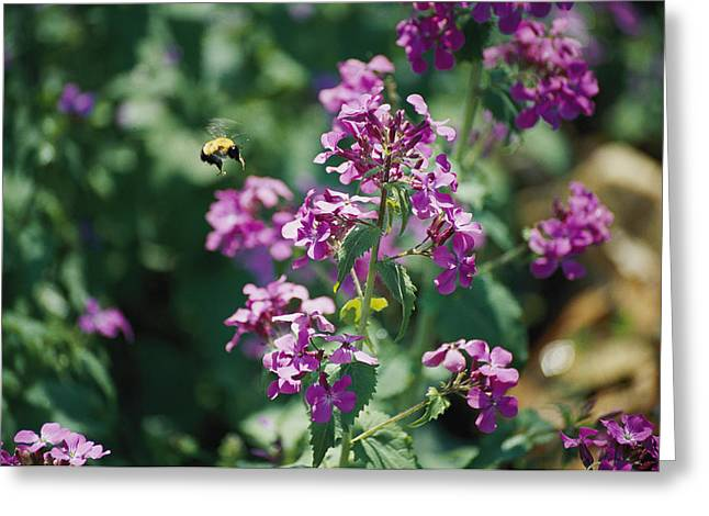 Eastern Shore Greeting Cards - A Large Bumblebee Resembling A Small Greeting Card by Stephen St. John