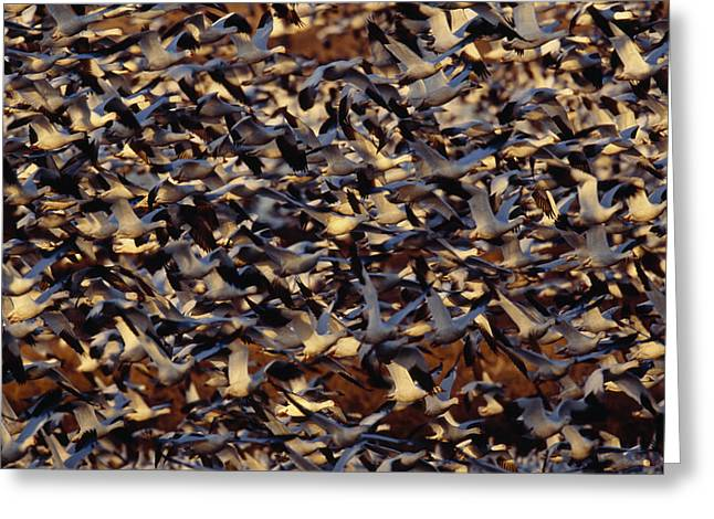 Smyrna Greeting Cards - A Large Flock Of Migrating Snow Geese Greeting Card by George Grall