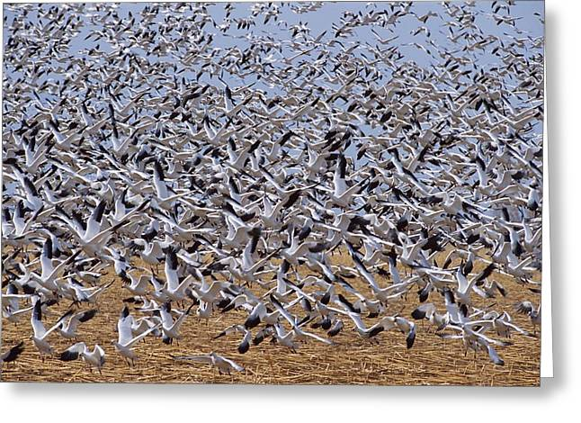 Animals In Action Greeting Cards - A Large Flock Of Snow Geese Chen Greeting Card by Rich Reid