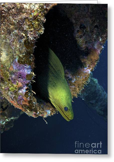 A Large Green Moray Eel Greeting Card by Terry Moore