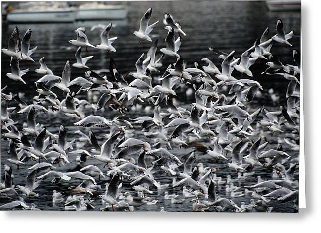 A Large Group Of Black-headed Gulls Greeting Card by Tim Laman