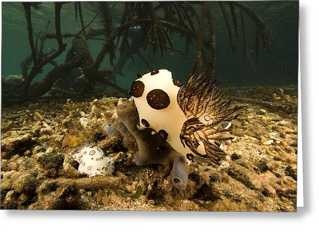 A Large Nudibranch Feeds On A Sponge Greeting Card by Tim Laman