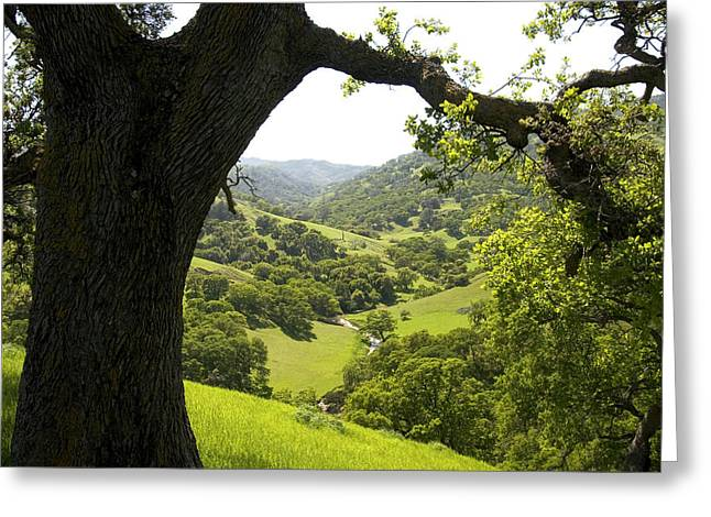 Branch Hill Greeting Cards - A Large Oak Tree Stands Above Hillsides Greeting Card by Phil Schermeister
