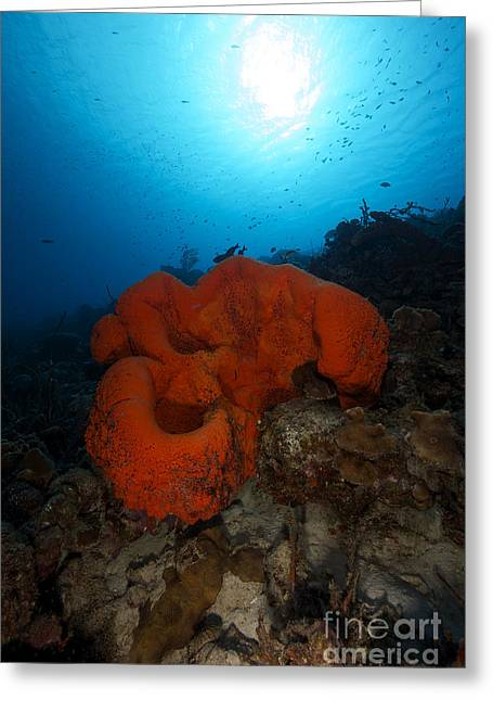 Undersea Photography Greeting Cards - A Large Orange Elephant Ear Sponge Greeting Card by Terry Moore