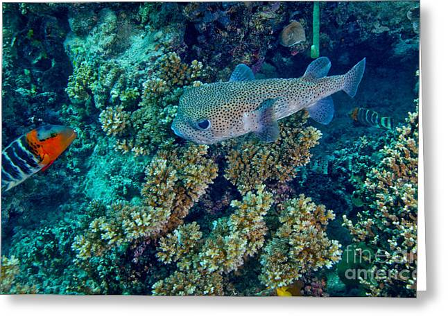 Balloonfish Greeting Cards - A Large Porcupinefish Meets Greeting Card by Michael Wood