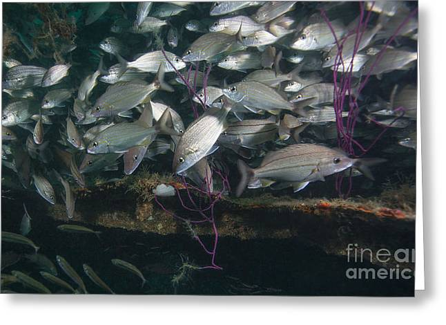 Undersea Photography Greeting Cards - A Large School Of Tomtate Greeting Card by Michael Wood
