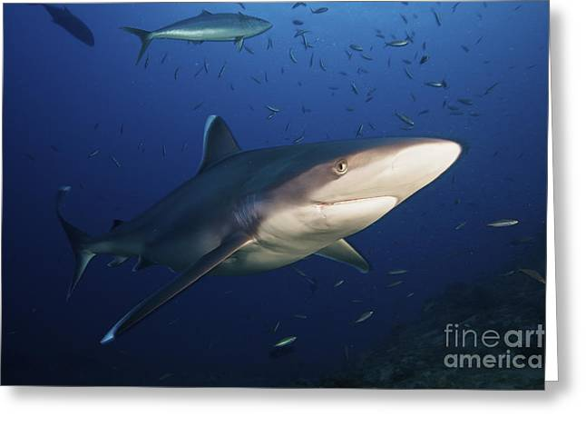 Undersea Photography Greeting Cards - A Large Silvertip Shark, Fiji Greeting Card by Terry Moore