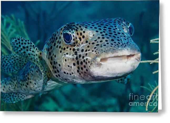 Balloonfish Greeting Cards - A Large Spotted Pufferfish Greeting Card by Terry Moore