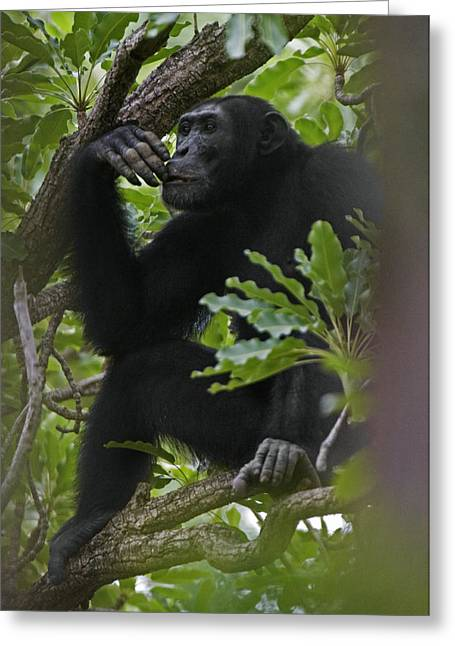Senegal Greeting Cards - A Large Teenage Male Chimpanzee Perches Greeting Card by Frans Lanting