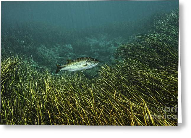 Leaves Of Grass Greeting Cards - A Largemouth Bass Swims Amonst Greeting Card by Terry Moore
