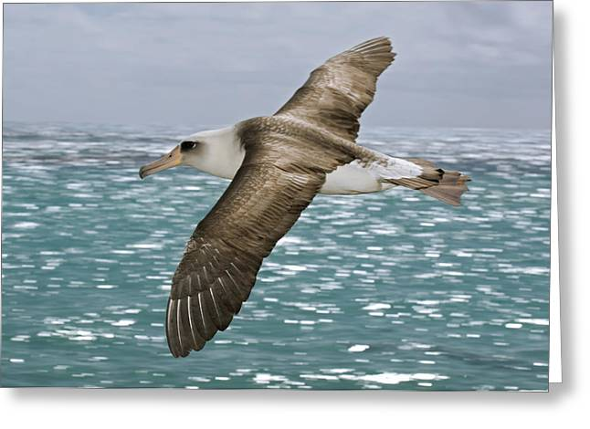 Flying Animal Greeting Cards - A Laysan Albatross In Flight Greeting Card by Frans Lanting
