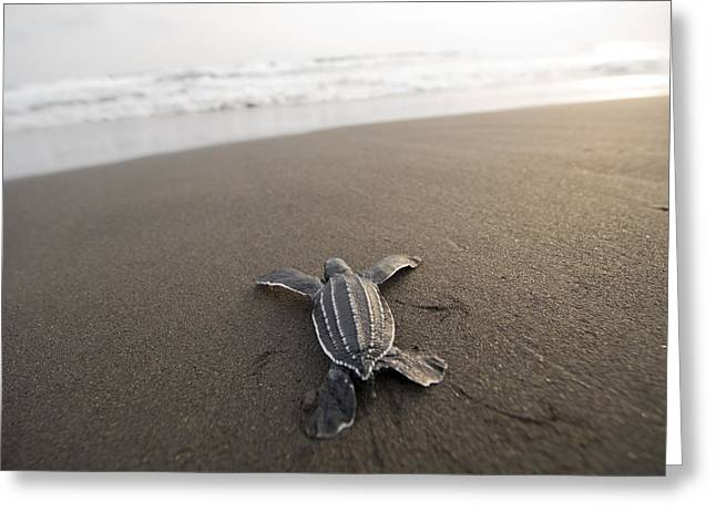 Animal Tracks Greeting Cards - A Leatherback Sea Turtle Hatchling Greeting Card by Joel Sartore