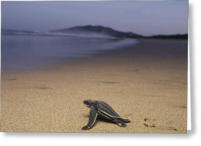 Animal Life Cycles Greeting Cards - A leatherback turtle Greeting Card by Steve Winter