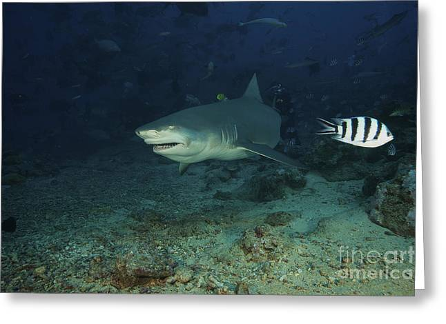 Undersea Photography Greeting Cards - A Lemon Shark Gulps Down A Large Tuna Greeting Card by Terry Moore