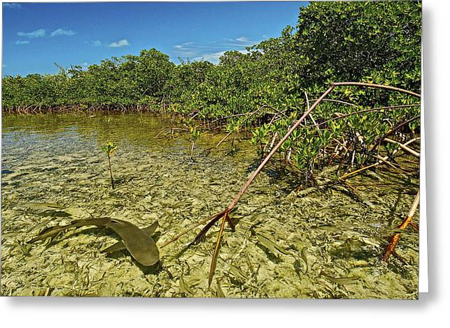 A Lemon Shark Pup Swims Among Mangrove Greeting Card by Brian J. Skerry