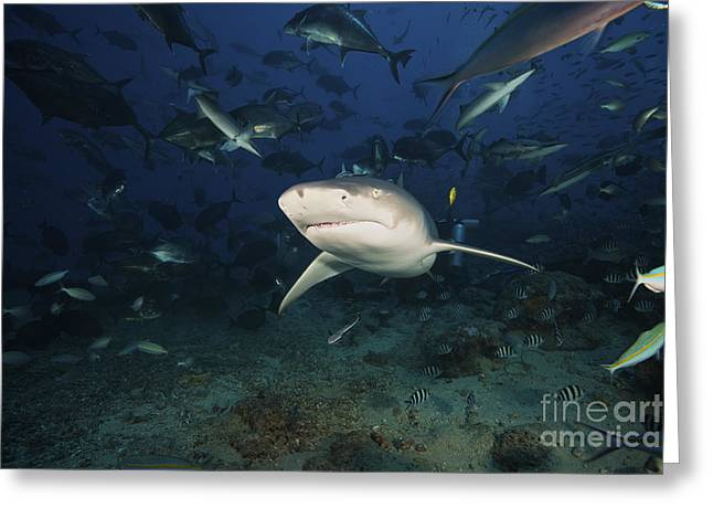 Undersea Photography Greeting Cards - A Lemon Shark Swims Through A Large Greeting Card by Terry Moore