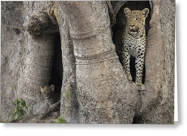 Baobab Greeting Cards - A Leopard And Cub Inside A Giant Baobab Greeting Card by Beverly Joubert