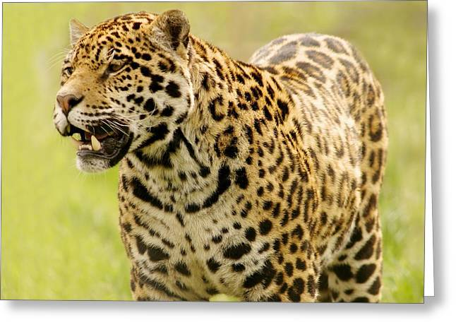 Growling Greeting Cards - A Leopard Greeting Card by Con Tanasiuk