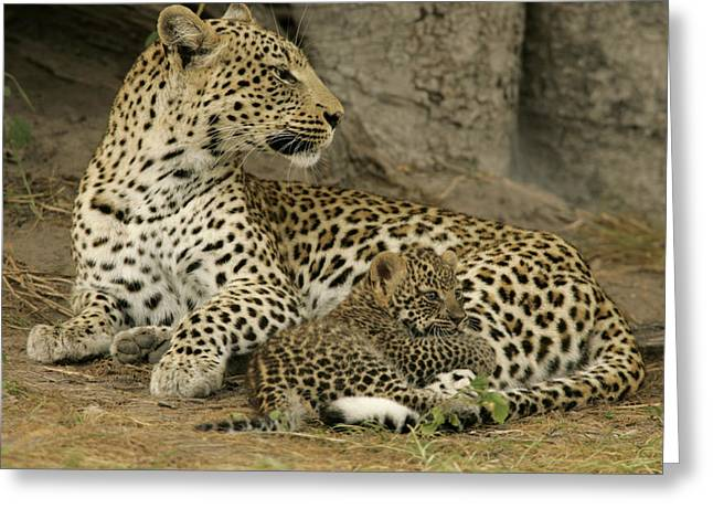 Juvenile Mammals Greeting Cards - A Leopard Cub With Her Mother Greeting Card by Beverly Joubert