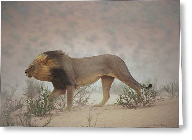 Gemsbok Greeting Cards - A Lion Pushes On Through A Gritty Wind Greeting Card by Chris Johns