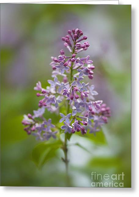 Close Focus Floral Greeting Cards - A Little Lilac Greeting Card by Jacky Parker