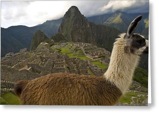 Pre Columbian Architecture And Art Greeting Cards - A Llama And Reconstructed Stone Greeting Card by Michael Melford