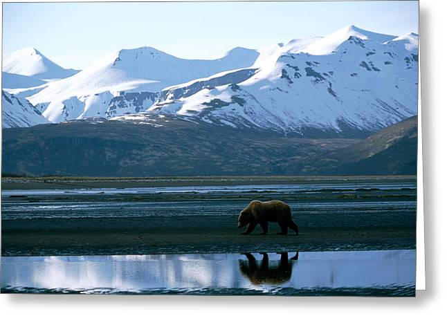 Born In The Usa Greeting Cards - A Lone Grizzly Bear In Katmai National Greeting Card by Joel Sartore