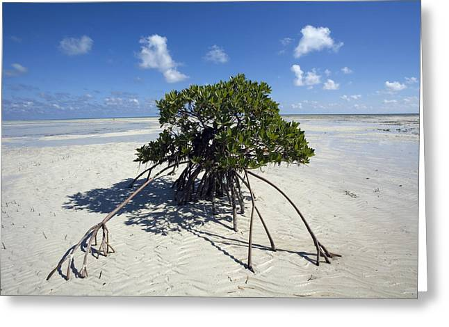 Tree Roots Greeting Cards - A Lone Mangrove Tree On A Sand Spit Greeting Card by Scott S. Warren